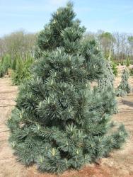 Borovice ohebná 'Vanderwolf´s Pyramid' -Pinus flexilis 'Vanderwolf´s Pyramid' - 1