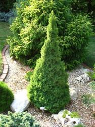 Smrk sivý 'Zuckerhut' - Picea glauca 'Zuckerhut'                   - 1