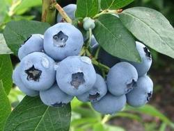 Borůvka chocholičnatá 'Denise Blue' - Vaccinium corymbosum 'Denise Blue'  - 1