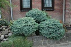 Smrk Boomův 'Machala' - Picea x mariorika 'Machala'