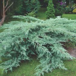 Jalovec viržinský 'Grey Owl' - Juniperus virginiana 'Grey Owl'            - 1