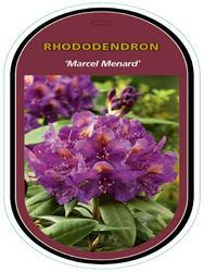 Rododendron (T) 'Marcel Menard' – Rhododendron (T) 'Marcel Menard' - 1