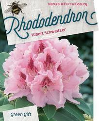 Rododendron 'Albert Schweitzer'- Rhododendron (T) 'Albert Schweitzer' - 1