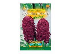 Hyacint zahradní WOODSTOCK 3ks