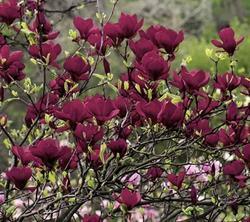 Šácholan 'Genie' - Magnolia 'Genie'   - 1