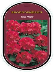 Rododendron (T) 'Karl Naue' - Rhododendron (T) 'Karl Naue' - 1