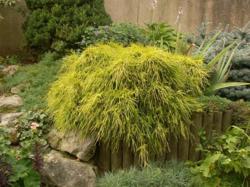 Cypřišek hrachonosný 'Sungold' - Chamaecyparis pisifera 'Sungold'             - 1