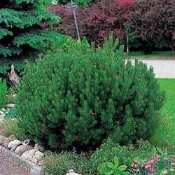 Borovice drobnokvětá 'Glauca' - Pinus parviflora 'Glauca'  - 1