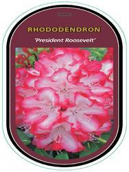 Rododendron (T) 'President Roosevelt' – Rhododendron (T) 'President Roosevelt'     - 1