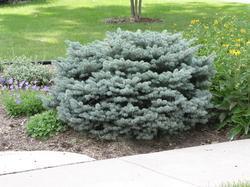 Smrk pichlavý 'Glauca Globosa' - Picea pungens 'Glauca Globosa'  - 1