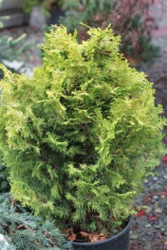 Cypřišek tupolistý 'Marian' - Chamaecyparis obtusa 'Marian'             - 1