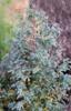 Cypřišek hrachonosný 'Baby Blue' - Chamaecyparis pisifera 'Baby Blue' - 1/3