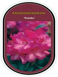 Rododendron (T) 'Tromba' – Rhododendron (T) 'Tromba'