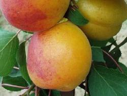 Meruňka Radka - Prunus Radka prostokořenná