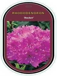 Rododendron (T) 'Rocket' – Rhododendron (T) 'Rocket' - 1
