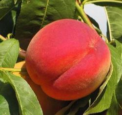 Broskvoň Redhaven - Prunus Redhaven