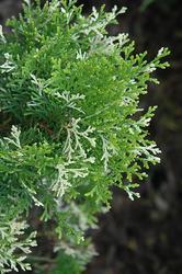 Zeravec východní 'Fleck' - Platycladus (Thuja) orientalis 'Fleck'        - 1