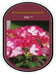 Rododendron (T) 'XXL' ® – Rhododendron (T) 'XXL' ®