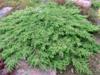 Jalovec obecný 'Green Carpet' - Juniperus communis 'Green Carpet'             - 1/2