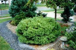 Borovice lesní 'Beuvronensis' - Pinus sylvestris 'Beuvronensis'  - 1