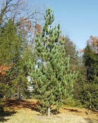 Borovice ohebná - Pinus flexilis             - 1