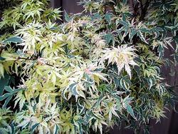 Javor dlanitolistý 'Butterfly'-Acer palmatum 'Butterfly'                 - 1