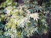 Javor dlanitolistý 'Butterfly'-Acer palmatum 'Butterfly'                 - 1/3