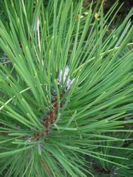 Borovice černá 'Buda' - Pinus nigra 'Buda'            - 1