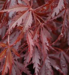 Javor dlanitolistý 'Burgundy Lace' - Acer palmatum                   - 1