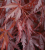 Javor dlanitolistý 'Burgundy Lace' - Acer palmatum                   - 1/2