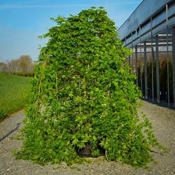 Javor dlanitolistý 'Ryusen' - Acer palmatum 'Ryusen'                    - 1