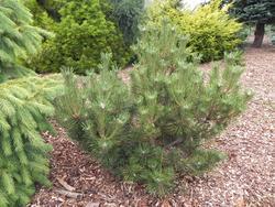 Borovice smolná 'Nana' - Pinus resinosa 'Nana'                       - 1