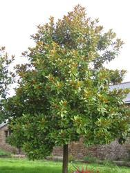 Šácholan velkokvětý 'Goliath' - Magnolia grandiflora 'Goliath'     - 1