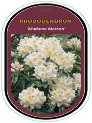 Rododendron (T) 'Madame Masson' - Rhododendron (T) 'Madame Masson' - 1