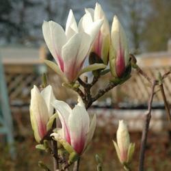 Šácholan Soulangeův 'Superba' - Magnolia x soulangeana 'Superba'