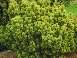 Borovice kleč 'Ophir' - Pinus mugo 'Ophir'                   - 1