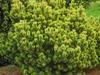Borovice kleč 'Ophir' - Pinus mugo 'Ophir'                   - 1/3