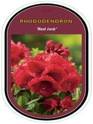 Rododendron 'Red Jack' – Rhododendron 'Red Jack' - 1