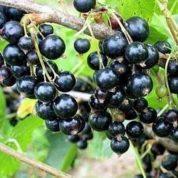 Rybíz černý 'Titania' - Ribes nigrum 'Titania' prostokořenný stromkový         - 1