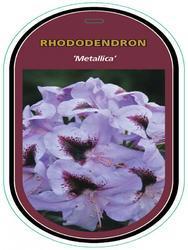 Rododendron (T) 'Metallica' – Rhododendron (T) 'Metallica' - 1