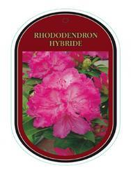 Rododendron (T) 'Eucharities' - Rhododendron (T) 'Eucharities' - 1