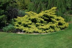 Jalovec prostřední 'Old Gold' - Juniperus x media 'Old Gold'