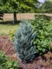 Cypřišek Lawsonův 'Van Pelt´s Blue' -Chamaecyparis lawsoniana 'Van Pelt´s Blue' - 1/2