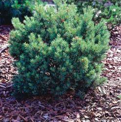 Borovice lesní 'Hibernia' - Pinus sylvestris 'Hibernia'     - 1
