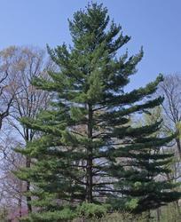 Borovice vejmutovka - Pinus strobus                      - 1