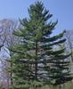Borovice vejmutovka - Pinus strobus                      - 1/3