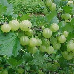 Angrešt zelený 'Hinnonmaeki Grün' - Ribes uva-crispa 'Hinnonmaeki Grün'