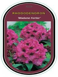 Rododendron (T) 'Madam Fortier' - Rhododendron (T) 'Madam Fortier' - 1