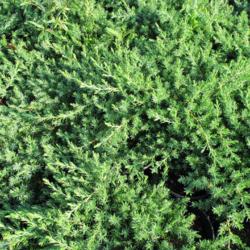 Jalovec pobřežní 'Blue Paciffic'- Juniperus conferta 'Blue Paciffic'
