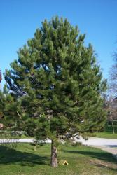 Borovice černá - Pinus nigra nigra